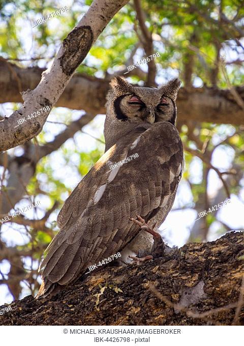 Verreaux's eagle-owl, also milky or giant eagle owl (Bubo lacteus) sitting in tree with prey, Okavango Delta, Botswana
