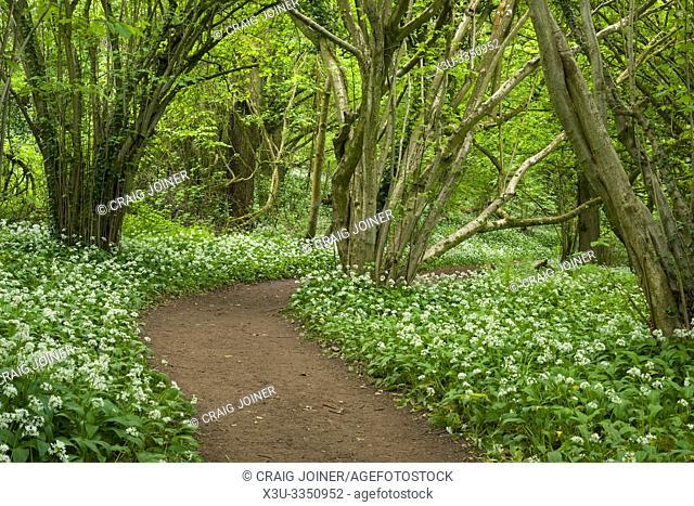 Pathway through Wild Garlic, or Ramsons (Allium ursinum) in Prior's Wood near Portbury in North Somerset, England
