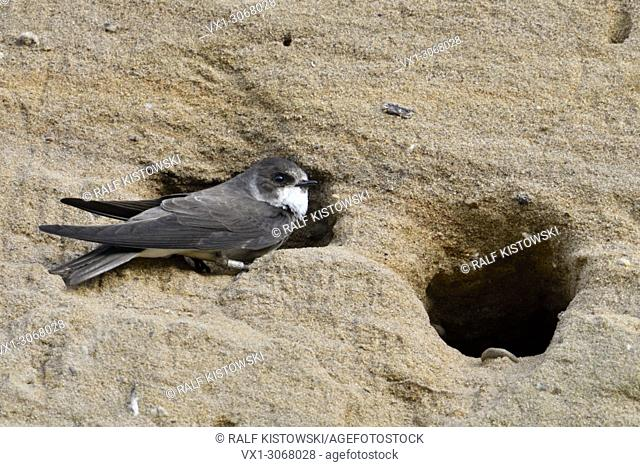 Sand Martin / Bank Swallow ( Riparia riparia ) perched at its nest hole, ringed bird, in a sandy cliff of a sand pit, wildlife, Europe