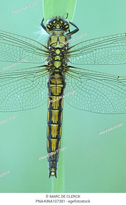 Black-tailed Skimmer Orthetrum cancellatum - Plateaux, Bergeyk, North Brabant, The Netherlands, Holland, Europe