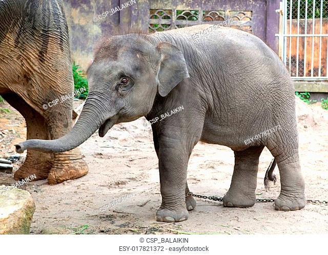 The elephant calf in park Khao Lak, Thailand