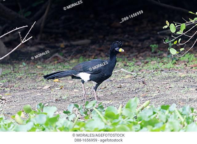 Brazil, Mato Grosso, Pantanal area,Black Curassow Crax alector