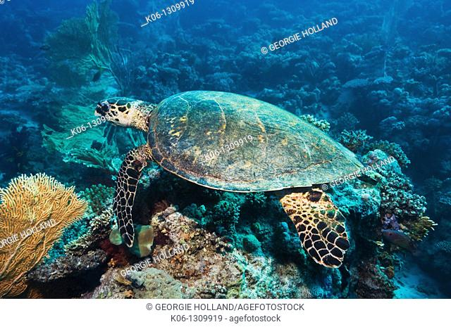 Hawksbill turtle Eretmochelys imbricata swimming over coral reef  Red Sea, Egypt
