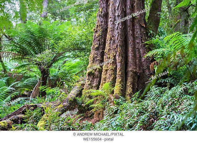 Dicksonia antarctica Rain forest at Melba Gully State Park, Great Otway National Park, Vitoria, Australia