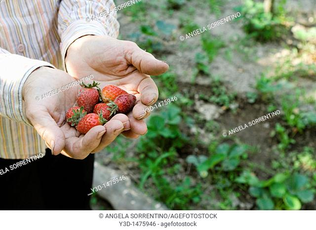A woman holding a handful of strawberries, close-up