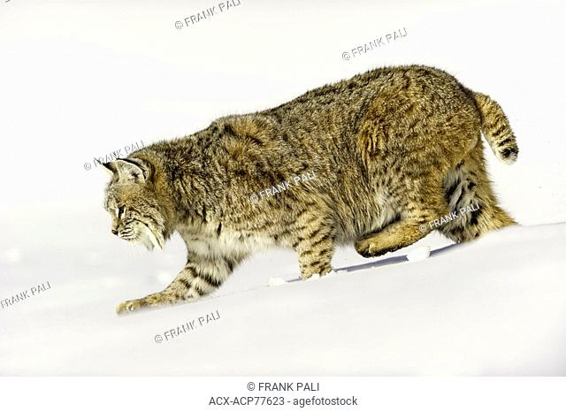 Captive young Bobcat (Lynx rufus) in late winter mountain habitat of Bozeman, Montana, USA