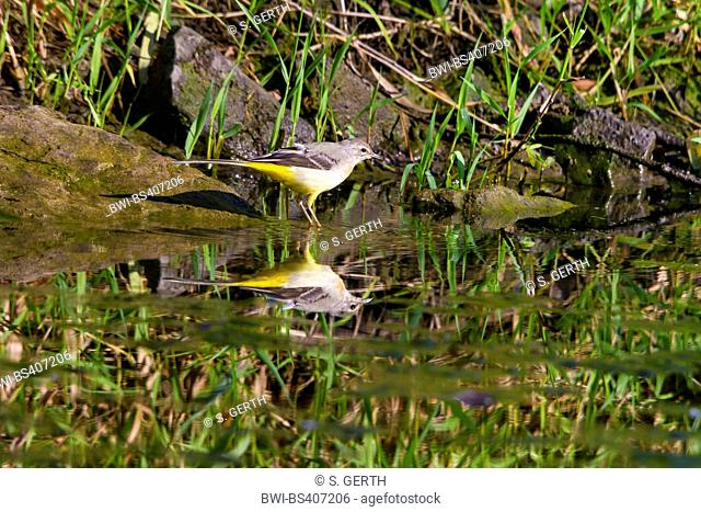 grey wagtail (Motacilla cinerea), on the feed, mirroring on water surface, Switzerland, Lake Constance