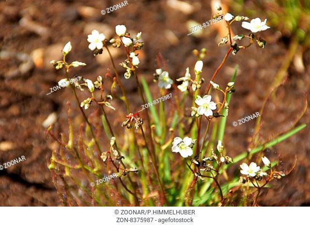 Drosera binata, Sonnentau, Sundew