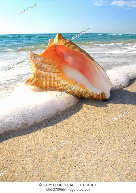 conch shell on Florida USA beach
