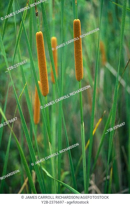 Common Cattail has scientific name of Typha latiflora