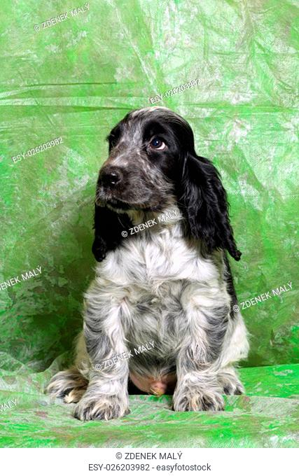 black and white as blue English Cocker Spaniel puppy on green background