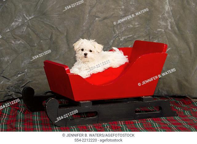 A maltese puppy in a sleigh