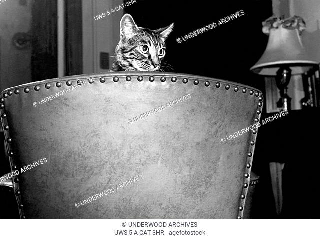 United States: c. 1950.A cat peers over the back of a chair