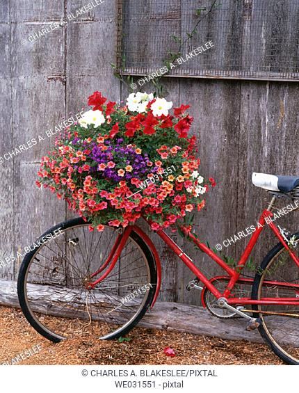 Bicycle with flower leaning against garden shed. Anacortes. Fidalgo Island, Skagit County. Washington. USA