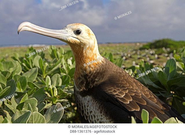 Hawaï , Midway , Eastern Island , Great Frigatebird  Fregata minor ridwayi