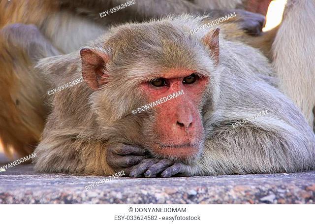 Portrait of Rhesus macaque (Macaca mulatta), Taragarh Fort, Bundi, Rajasthan, India