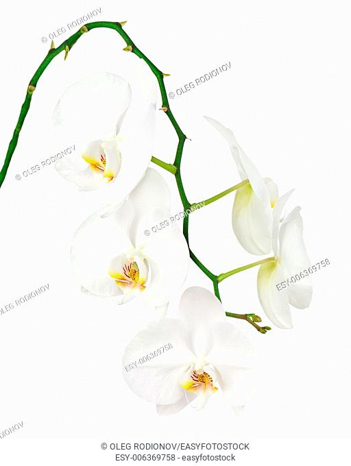 Seven day old white orchid isolated on white background. Closeup