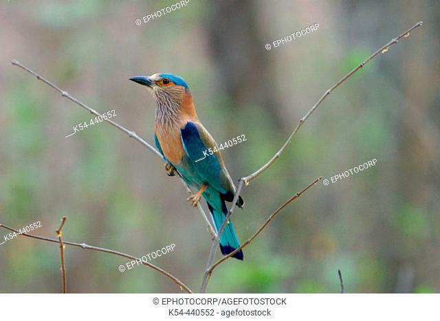 Blue jay or Indian roller (Coracias benghalensis) Kanha National Park, Madhya Pradesh, India