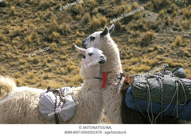 Llamas Bolivia, South America