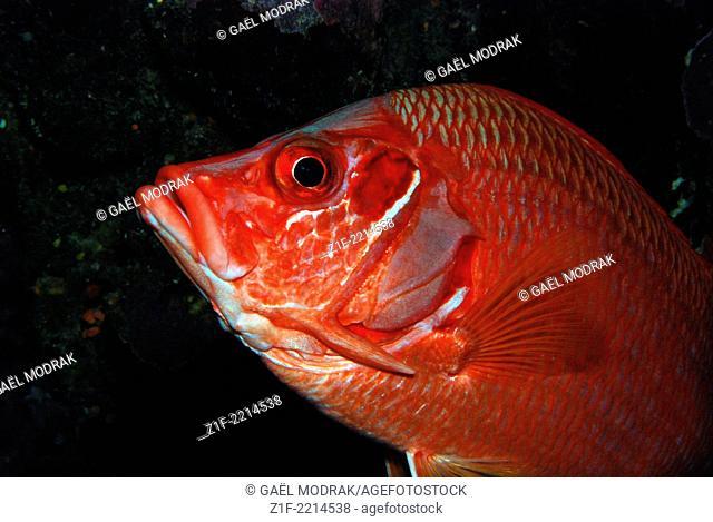 Giant squirrelfish close-up in red sea. Sargocentron spiniferum