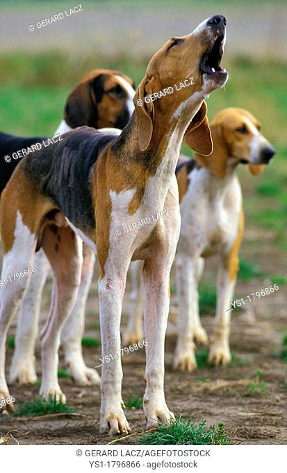 Great Anglo French Tricolour Hound, Adult Yapping