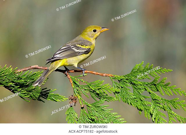 Western Tanager - Saanich BC