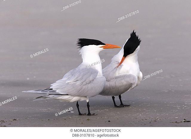 Central America, Mexico, Baja California Sur, Puerto San Carlos, Magdalena Bay (Madelaine Bay), . Royal tern (Thalasseus maximus), Courtship ritual