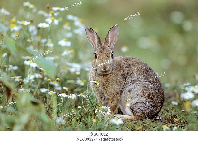 European Rabbit Oryctolagus cuniculus sitting in a flower meadow, Schleswig-Holstein, Germany, facing Kamera