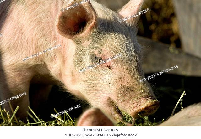 USA, ID, Bellevue. SMall farm. Berkshire pigs and piglets. 2007-04-07. © Michael Wickes