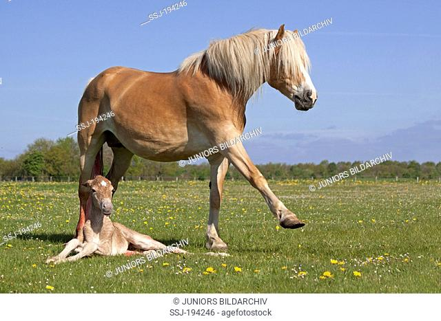 Haflinger Horse. Mare with newborn foal on a pasture. Germany
