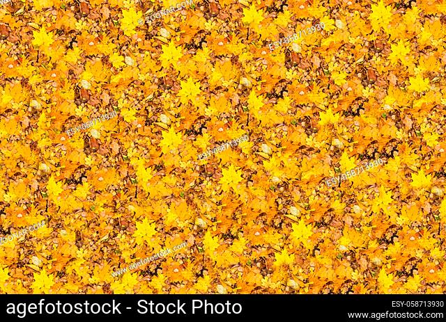 Golden bright fallen maple leaves background of a mood of sunny autumn