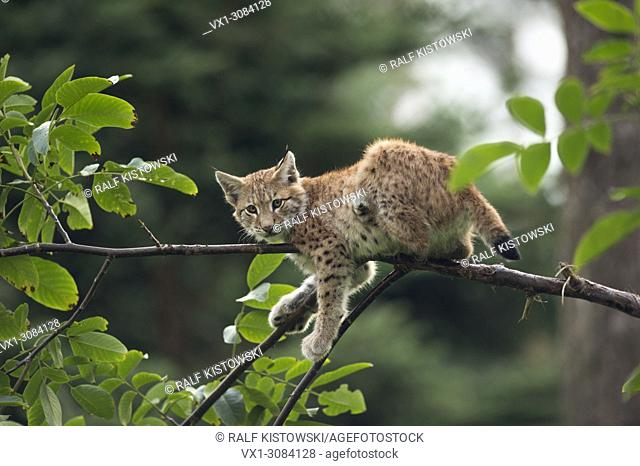 Eurasian Lynx ( Lynx lynx ), cute cub resting in tree, climbing, watching, looks funny, Europe