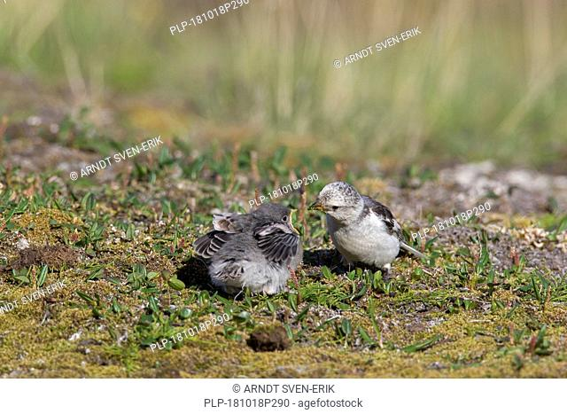 Snow bunting (Plectrophenax nivalis / Emberiza nivalis) female in breeding plumage feeding chick on tundra in Svalbard / Spitsbergen
