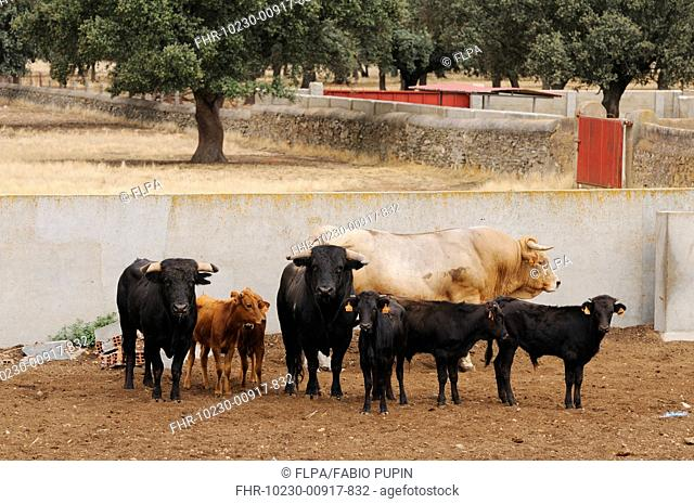 Domestic Cattle, Spanish Fighting Bull, fighting bulls two black ones, bull calves and reproductive bull cream colour, standing in walled enclosure, Salamanca
