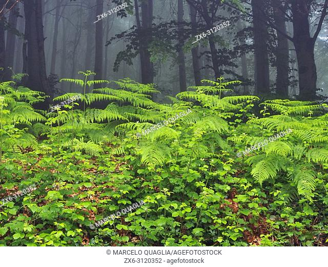 Ferns (Pteridium aquilinum) and foggy beech forest (Fagus sylvatica). Montseny Natural Park. Barcelona province, Catalonia, Spain