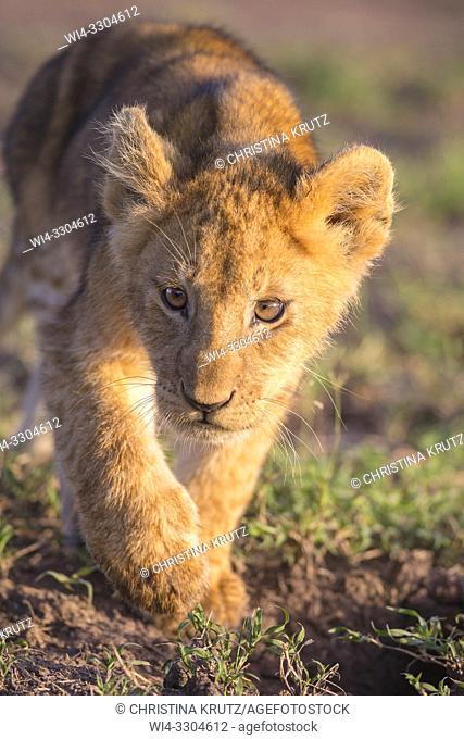 African Lion (Panthera leo) cub stalking, Maasai Mara National Reserve, Kenya, Africa
