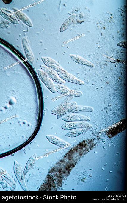 Plankton, Pantoffeltiere unter dem Mikroskop 100x