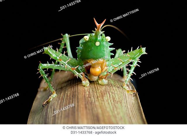 Spiny devil katydid, Panacanthus cuspidatus, eating a grub, Napo, Ecuador