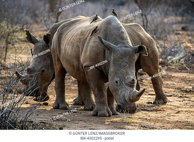 White rhino (Ceratotherium simum) with Red-billed hackers (Buphagus erythrorhynchus) on the back, Madikwe Game Reserve, North-West, South Africa