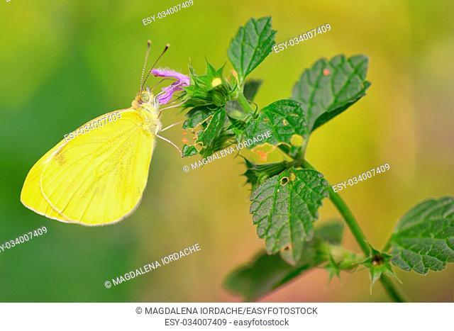 Macro Sulphur Phoebis Agarithe Butterfly