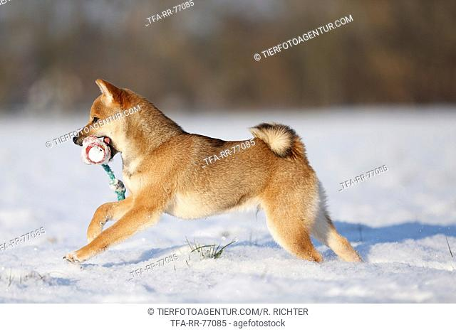 young Shiba Inu in snow