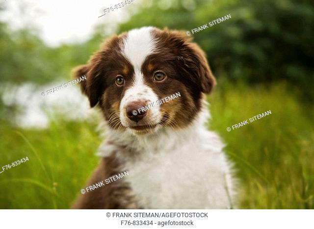 Miniature Australian Shepherd puppy 12 wks old