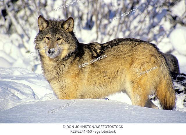 Gray wolf (Canis lupus)- captive, Columbia Falls, MT, USA