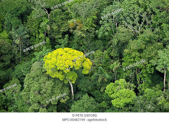 Emergent flowering tree and rainforest canopy, Yasuni National Park, Amazon, Ecuador