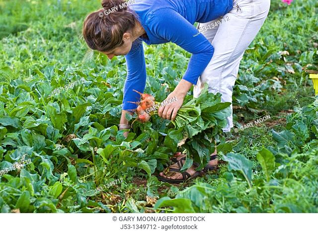 Woman picking beets on small organic farm, Nevada City, California