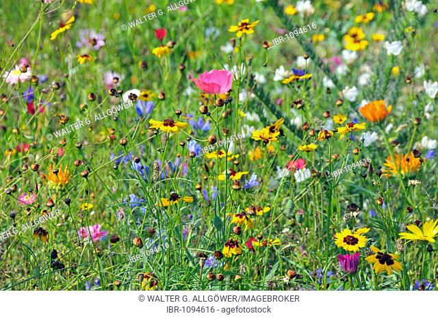 Flower meadow, Blaustein, Baden-Wuerttemberg, Germany, Europe