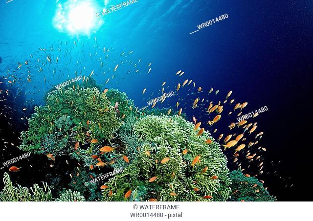 Fire Corals with Anthias, Milepora sp., Hamata, Red Sea, Egypt