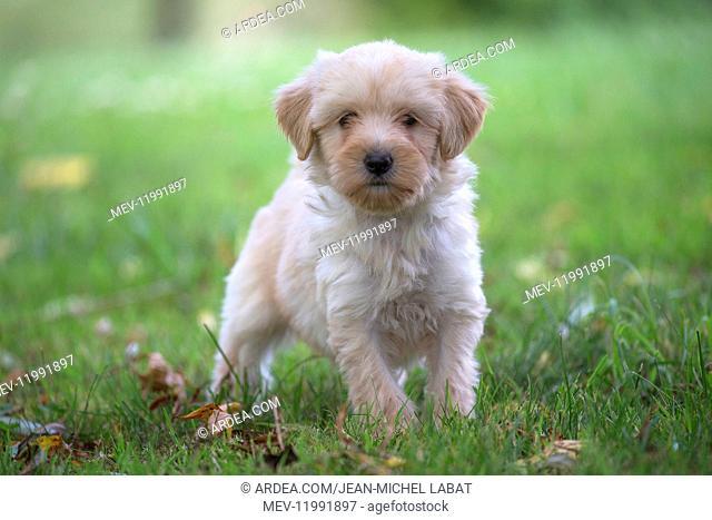 Tibetan Terrier puppy in the garden