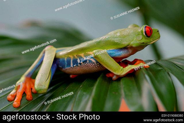Laubfrosch - Rotaugenlaubfrosch
