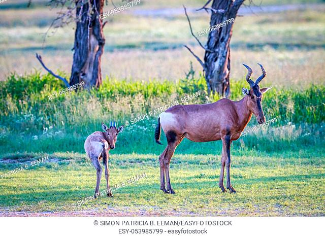 Red hartebeest with a baby in the Kgalagadi Transfrontier Park, South Africa